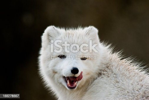 The Arctic Fox (Vulpes Lagopus) is a small fox native to the Arctic regions of the Northern Hemisphere. It has thick, wam fur that enables it to adapt to the cold tundra environment. The fur is also used as camouflage, turning white in the winter and darker in the summer.