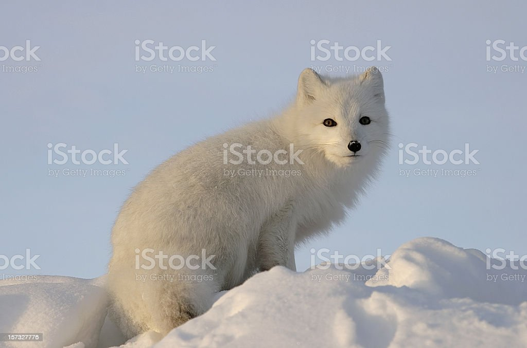 Arctic fox looks into the distance . royalty-free stock photo