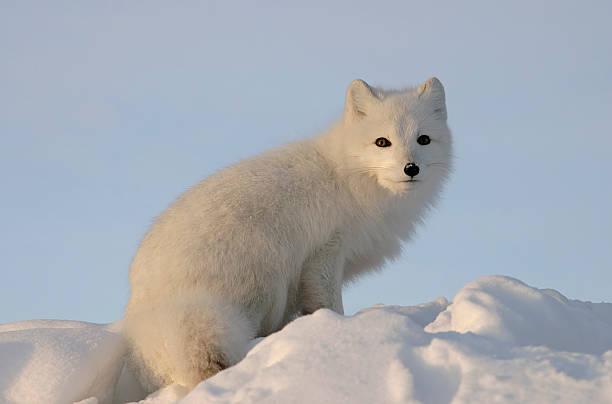 raposa ártica olha para a distância. - raposa ártica imagens e fotografias de stock