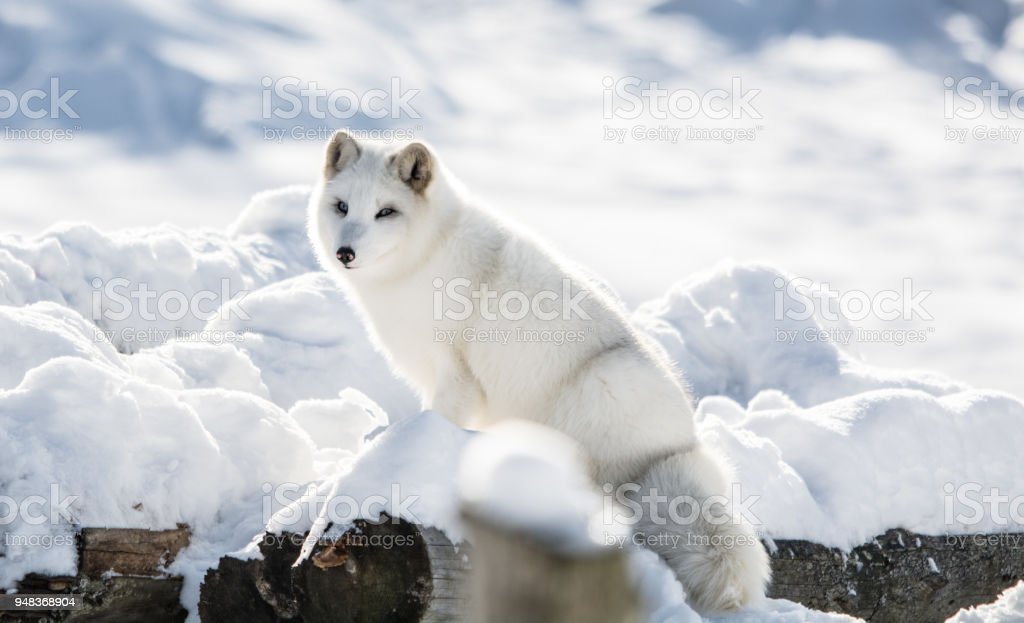 Arctic Fox on a Hill stock photo