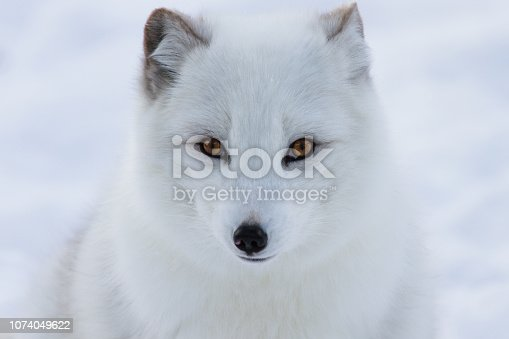 Curious Arctic fox coming to see the photographer