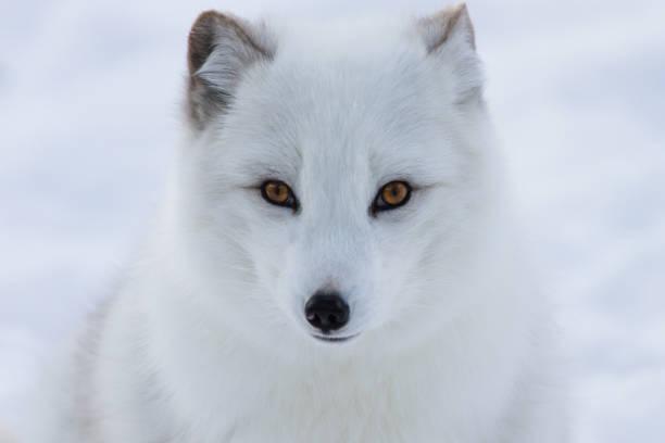 arctic fox on snow background - raposa ártica imagens e fotografias de stock