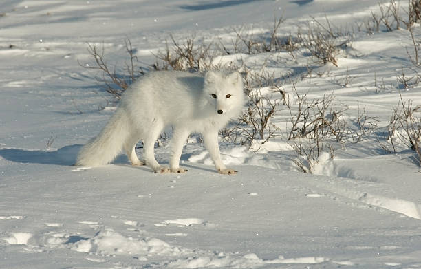 raposa ártica na neve coberta tundra junto à baía de hudson - raposa ártica imagens e fotografias de stock