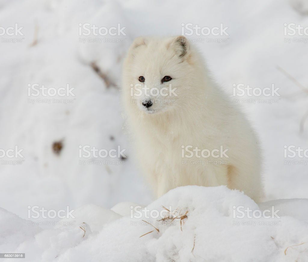 Arctic fox on snowy hill in winter time royalty-free stock photo