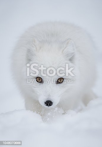 The superb arctic fox shows his wonderful winter coat in northern Norway