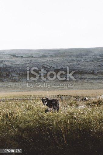 istock Arctic Fox 1070481732