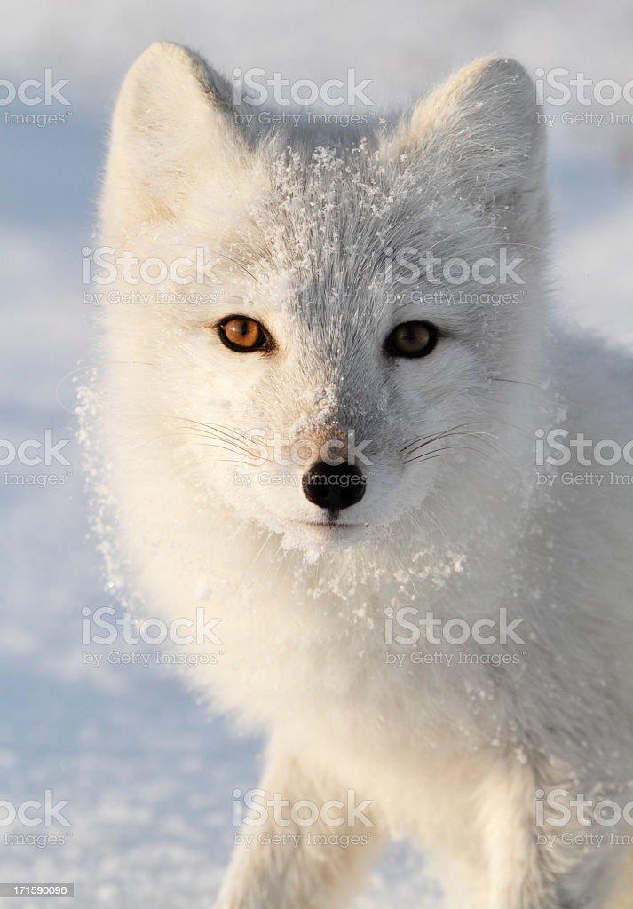 Arctic Fox. stock photo