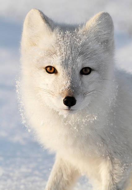 raposa ártica. - raposa ártica imagens e fotografias de stock