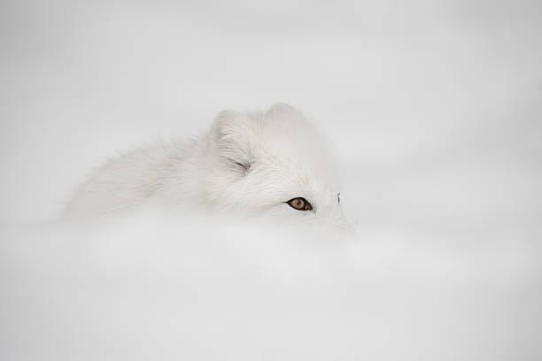 raposa ártica - raposa ártica imagens e fotografias de stock