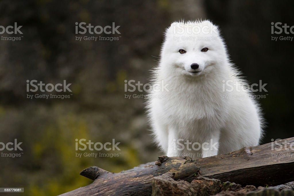 Arctic Fox stock photo