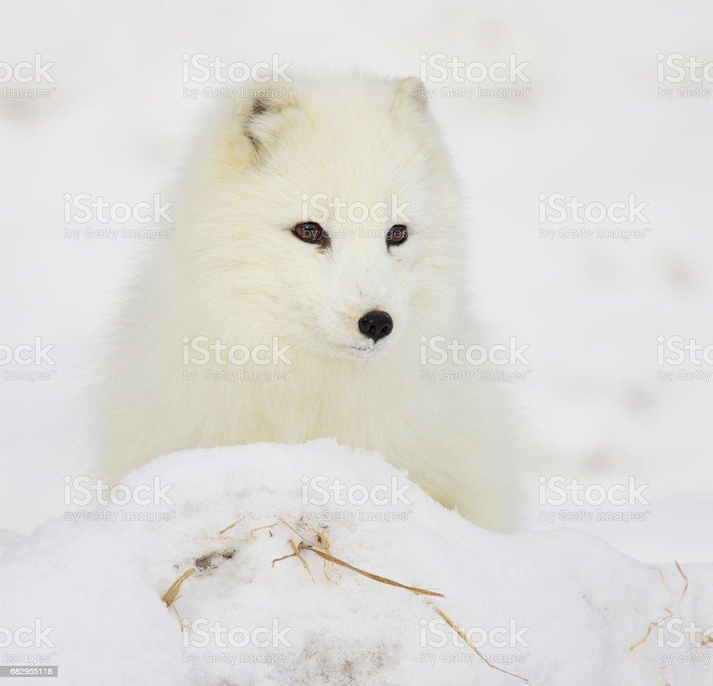 Arctic Fox foto de stock royalty-free