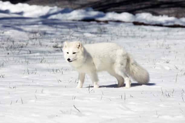 arctic fox - raposa ártica imagens e fotografias de stock