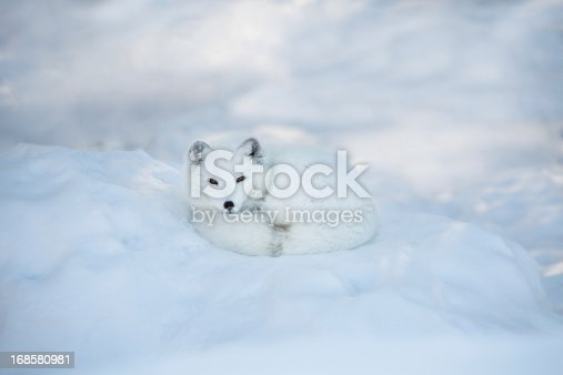 An arctic fox in his white winter coat is rest in the snow. Plenty of copy space.