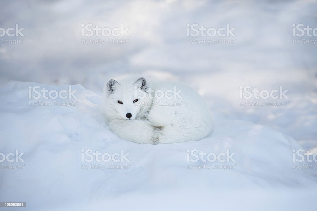 Arctic fox resting in the snow stock photo