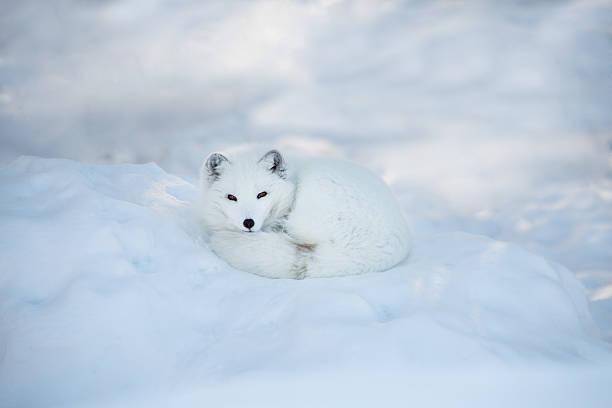 raposa ártica descansar na neve - raposa ártica imagens e fotografias de stock