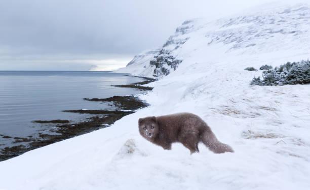 arctic fox standing in the snow on the coast in winter - raposa ártica imagens e fotografias de stock