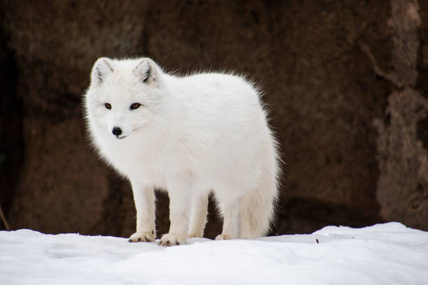 arctic fox standing - raposa ártica imagens e fotografias de stock