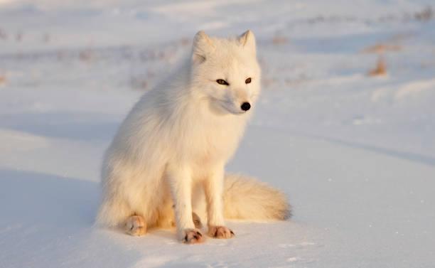 raposa ártica. dia soalheiro após polar noite. - raposa ártica imagens e fotografias de stock