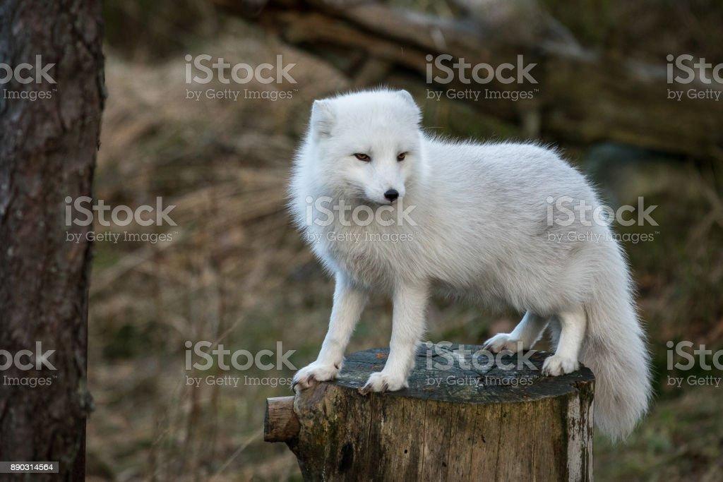 ホッキョクギツネ、ホンドギツネ道央、木の上に立って白い冬コートで切り株自然森林の背景に、雪を ストックフォト