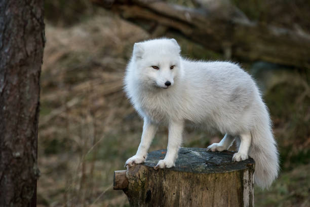 arctic fox, vulpes lagopus, in white winter coat standing on a tree stump with natural forest background, no snow - raposa ártica imagens e fotografias de stock