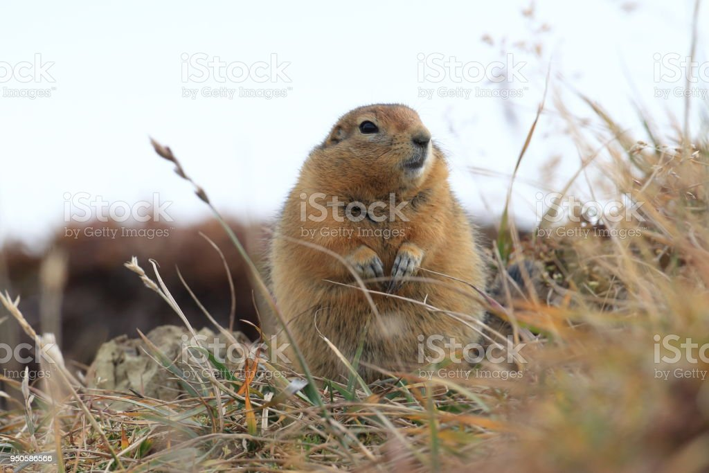 Arctic Ground Squirrel Alaska stock photo