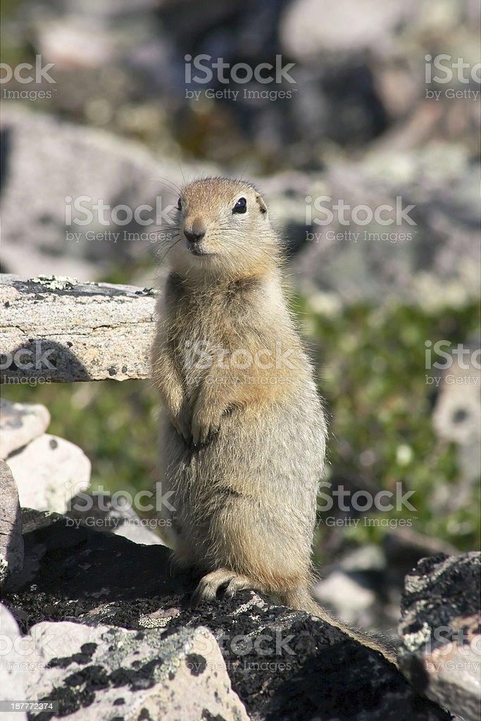 Arctic ground squirrel (Spermophilus parryii). stock photo