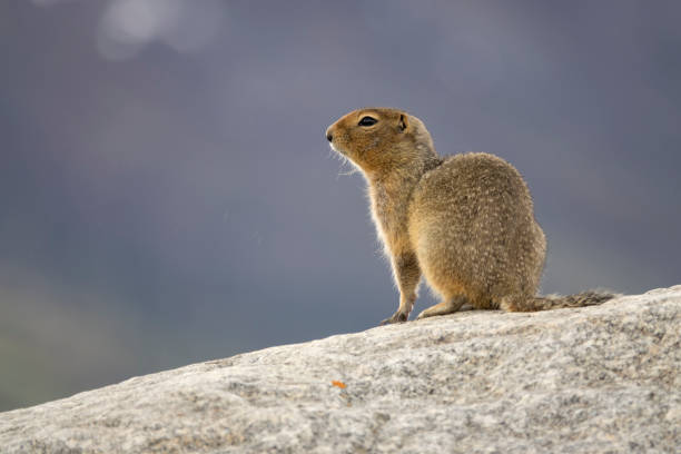 arctic ground squirrel yukon dempster highway tombstone territorial park ogilive mountains - provincial park stock photos and pictures