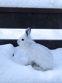 An arctic hare ventures out and sits on a back porch on a winters day in Alaska.
