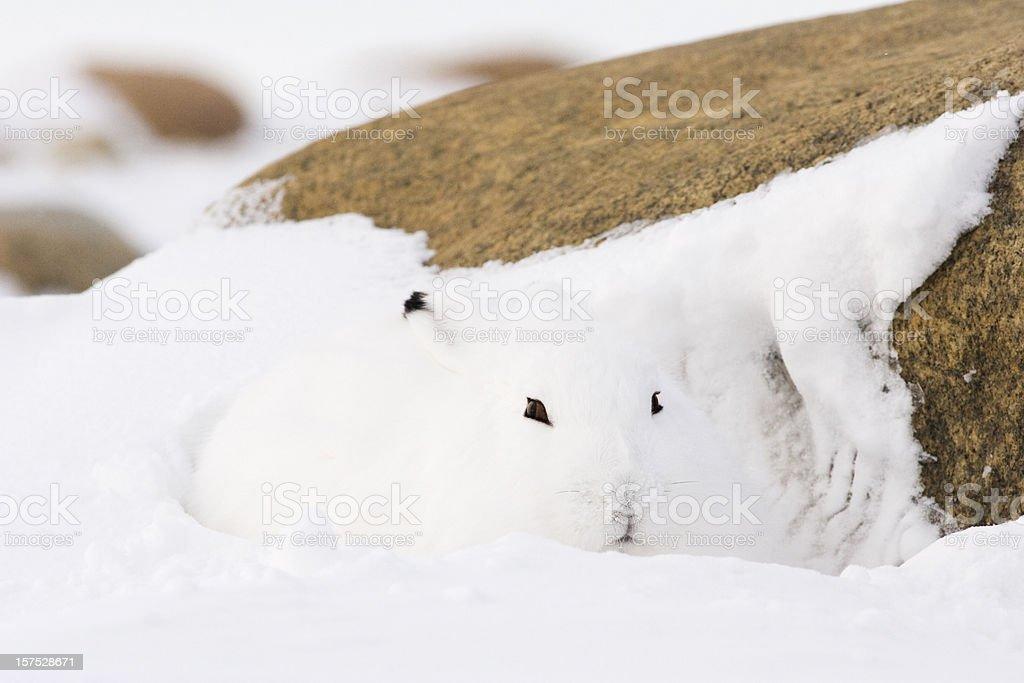 Arctic hare. stock photo