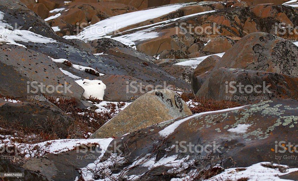 Arctic Hare stock photo