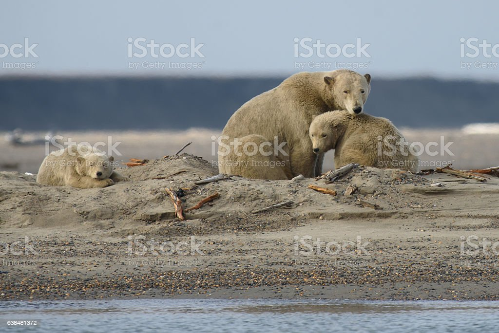 Arctic Polar Bear Sow and Two Cubs in ANWR stock photo