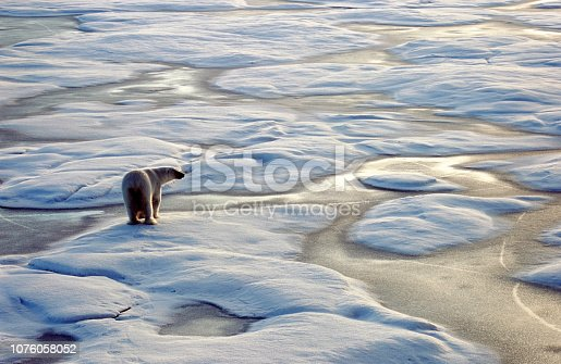 Polar Bear, Arctic, Ursus maritimus, Polar region, Predator, arctic animals, endangered animals, Franz Josef Land, russian arctic, globale warming