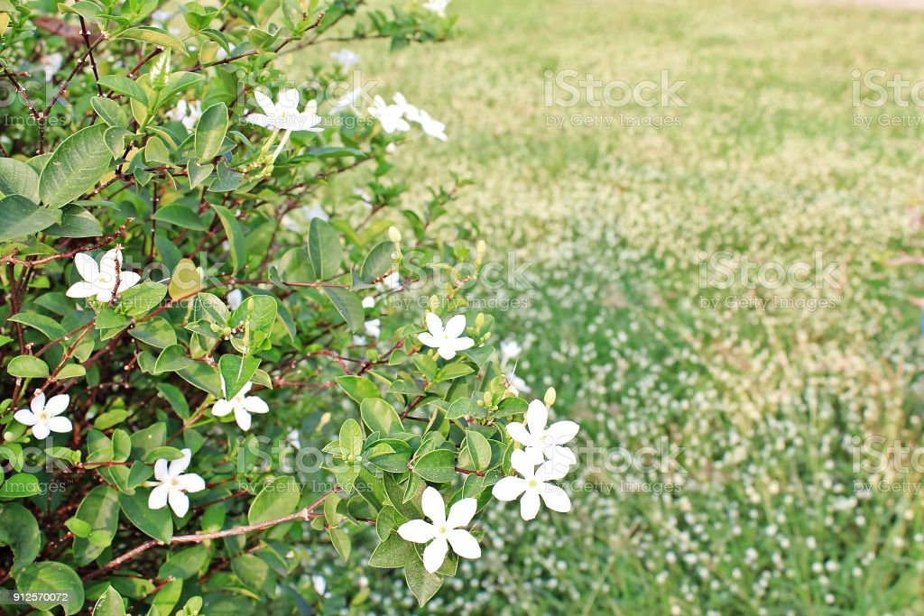 Arctic Snow Flower has a white flowering lawn. stock photo