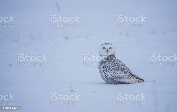 Arctic snowy owl in winter picture id1135114267?b=1&k=6&m=1135114267&s=612x612&h=esgokqi8 nn7sqfya88wxu3tv j7hd8vs5q hdfqe34=