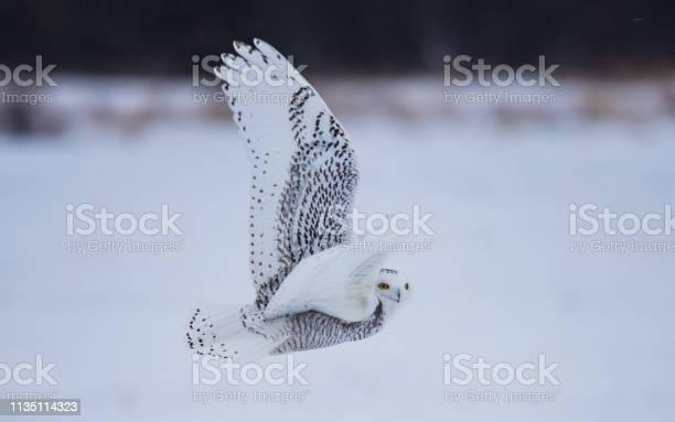 Arctic snowy owl in winter picture id1135114323?b=1&k=6&m=1135114323&s=612x612&h=y2vr6ldkoocbbfnsc432jo2xsktwmpvfa4s2p4k8syu=