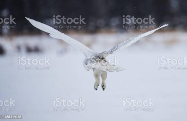 Arctic snowy owl in winter snow picture id1135114137?b=1&k=6&m=1135114137&s=612x612&h=28wze49vimodf97hjahpmg es6nwd04ha6tje5khsi4=