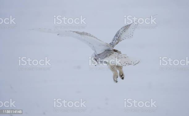 Arctic snowy owl in winter snow picture id1135114145?b=1&k=6&m=1135114145&s=612x612&h=kleaxiwuwmcy0kqlsv5f vyfts1hfr62qkyhquys4oq=