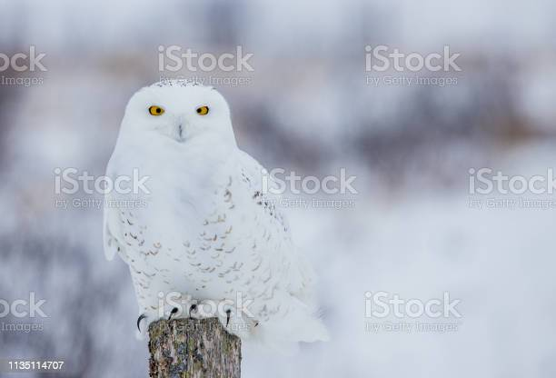 Arctic snowy owl in winter snow picture id1135114707?b=1&k=6&m=1135114707&s=612x612&h=cyabm0dj1riynqbqs6bcmdbh5w6te w1ib 4c0mbqsa=