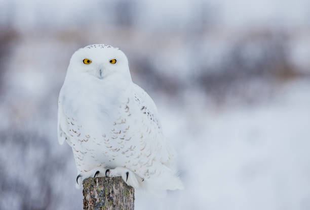 Arctic snowy owl in winter snow picture id1135114707?b=1&k=6&m=1135114707&s=612x612&w=0&h=hz f0ku6jqsxa6du2kd5c2xsihzdy9tvjcxy6zs8bx0=