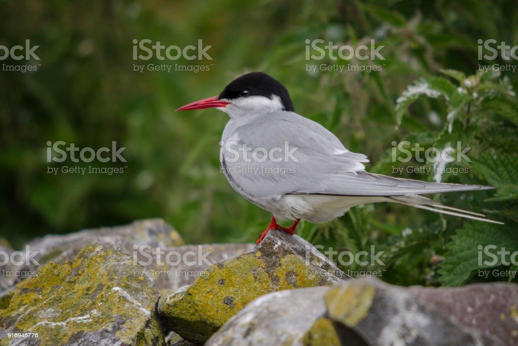 Arctic Tern Adult stock photo