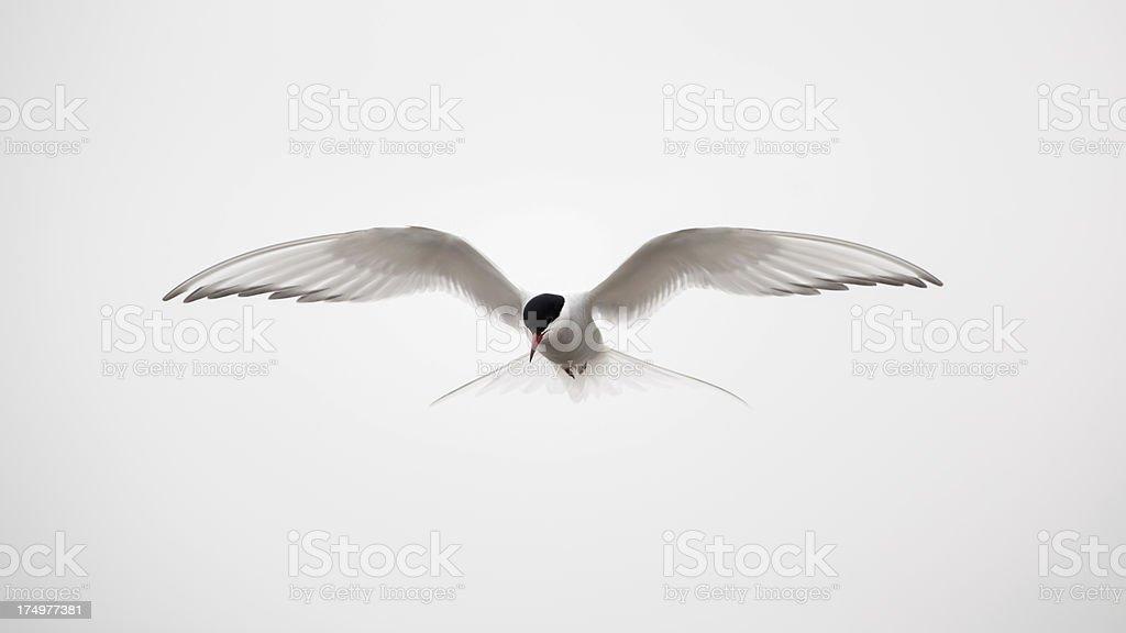 Trinta-Réis-Ártico voando - foto de acervo