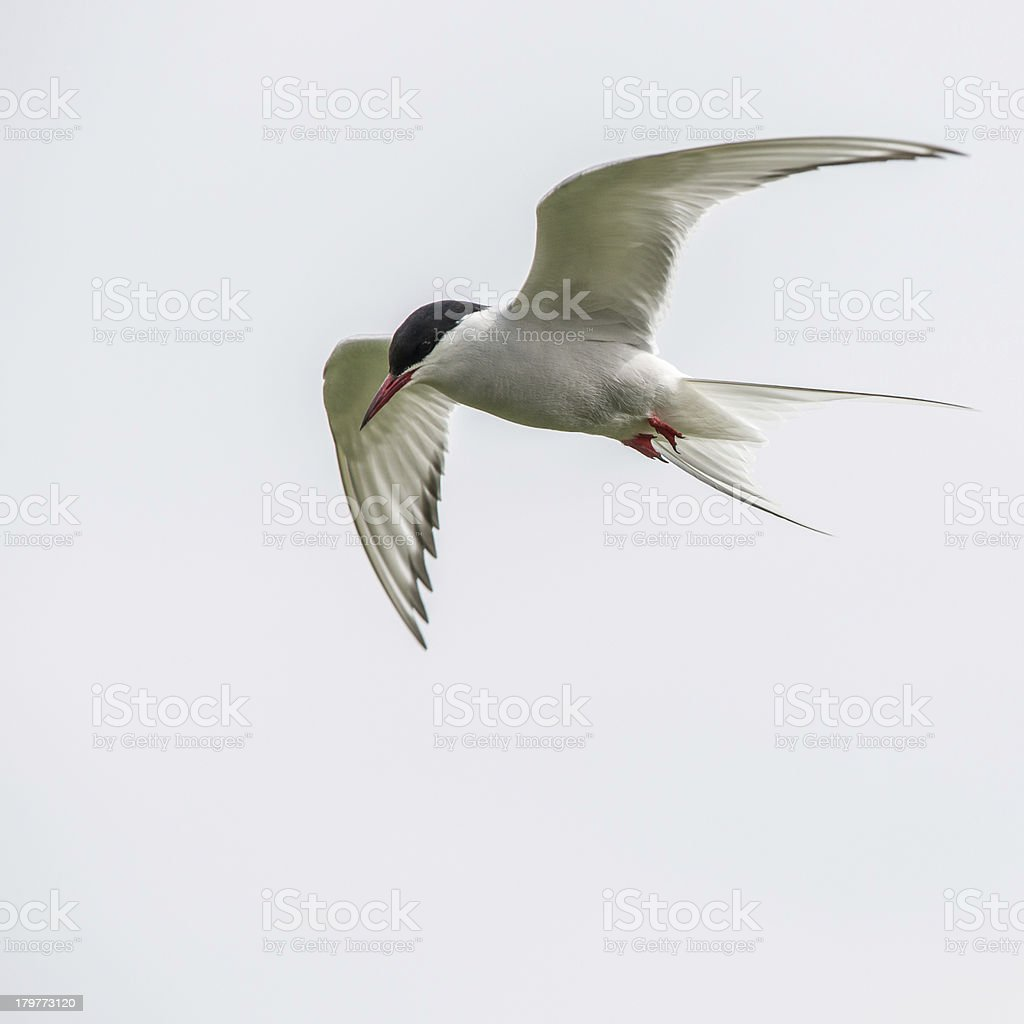 Arctic tern in flight (Farne Islands, UK) royalty-free stock photo