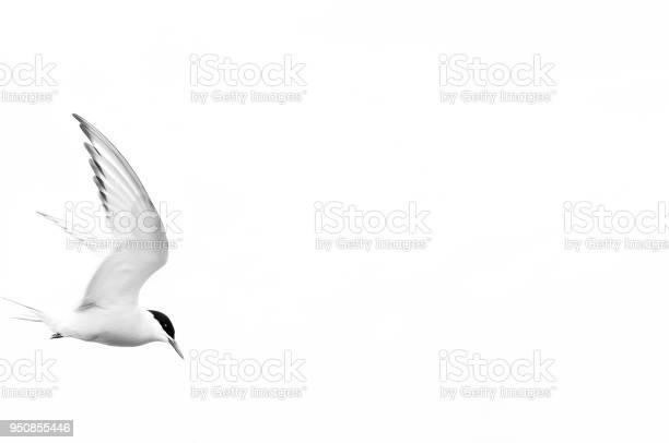 Arctic tern in flight picture id950855446?b=1&k=6&m=950855446&s=612x612&h=77mabxqjgg6btrhyq  j bihsuvl6sqakdrwprlwklm=