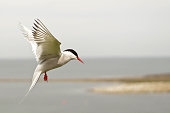 Arctic Tern in flight against a summer sky.