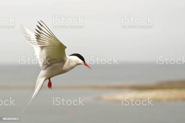 Arctic tern in flight picture id950855622?b=1&k=6&m=950855622&s=612x612&h=mqwnd0j8friaeszycmn1hbc6wjfuqynl5wkoyobvuye=