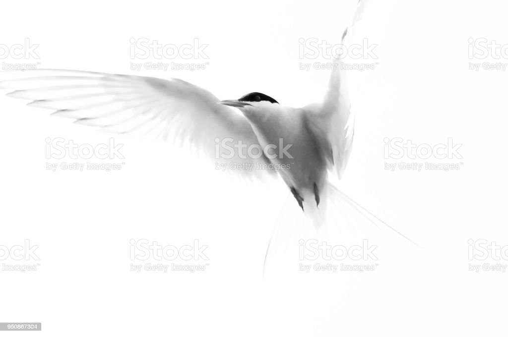 Arctic tern in flight stock photo