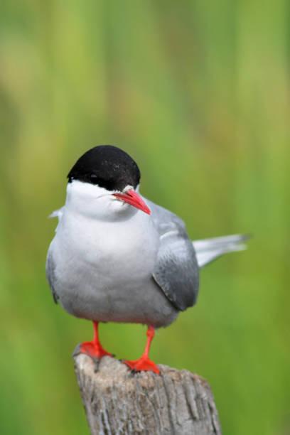 Arctic Tern stock photo