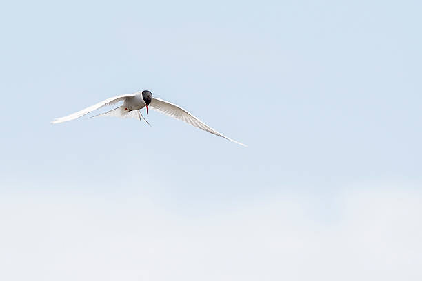 Arctic tern  – Foto