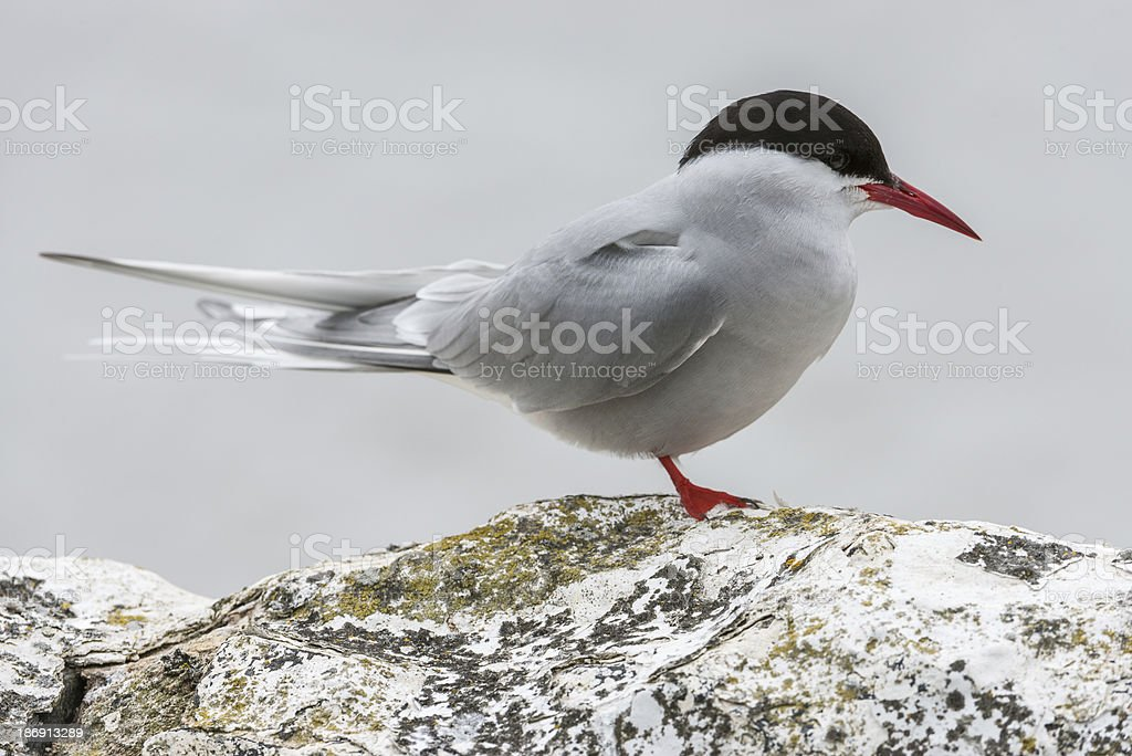 Arctic tern standing on a wall (Farne Islands, UK) royalty-free stock photo