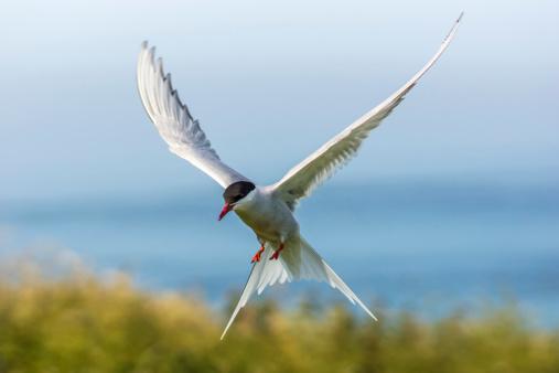 Arctic Tern / sterna paradisaea